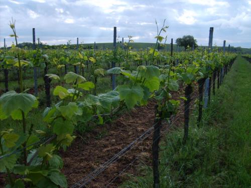 Weinwanderung und Corona